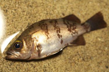 【実釣マニュアル】メバルの釣り方