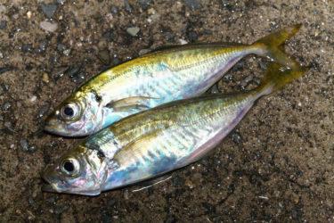 【実釣マニュアル】アジの釣り方