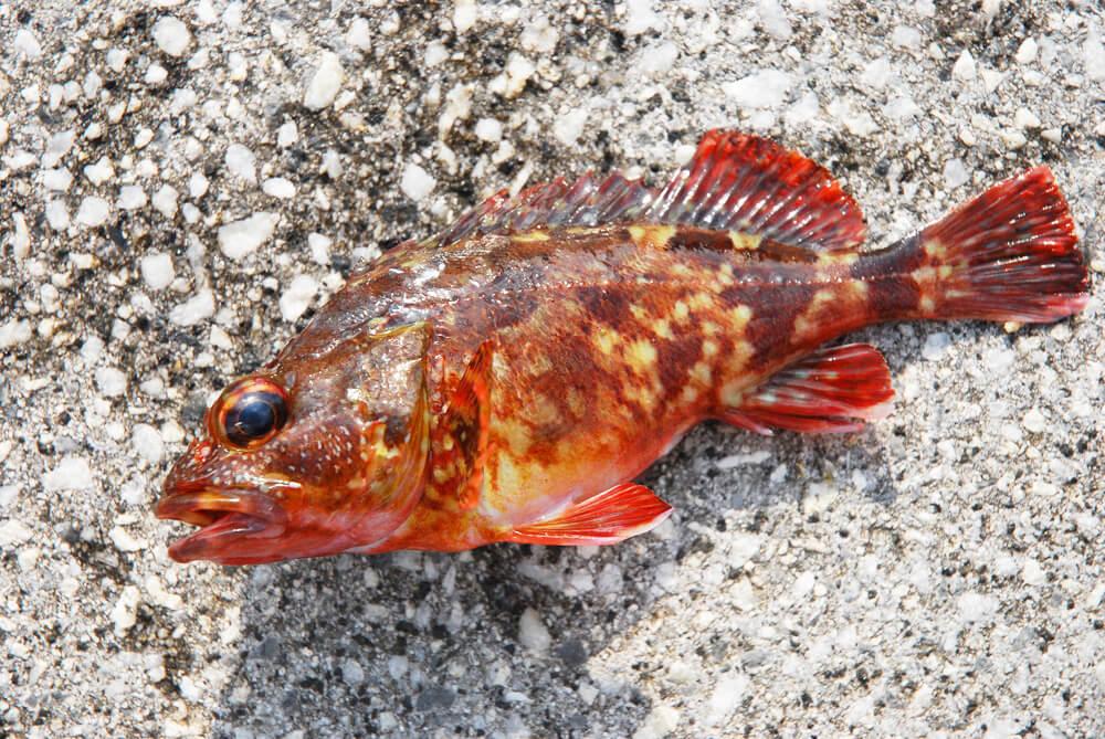 ガシラ(カサゴ)の釣り方   関西のつりweb   釣りの総合情報メディアMeME