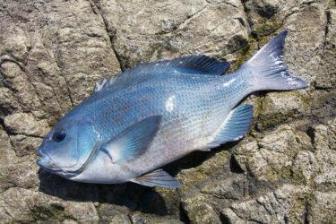【実釣マニュアル】グレ(メジナ・クロ)の釣り方