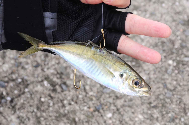 ハマチ(ブリ)の釣り方5