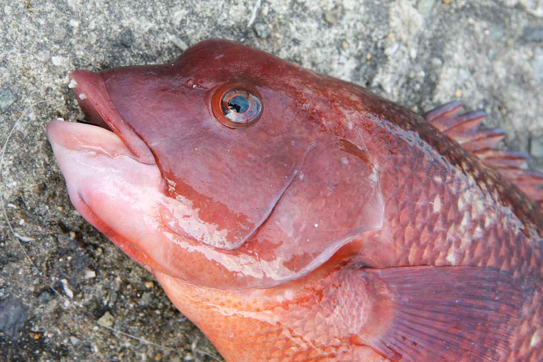 垂水一文字根魚2