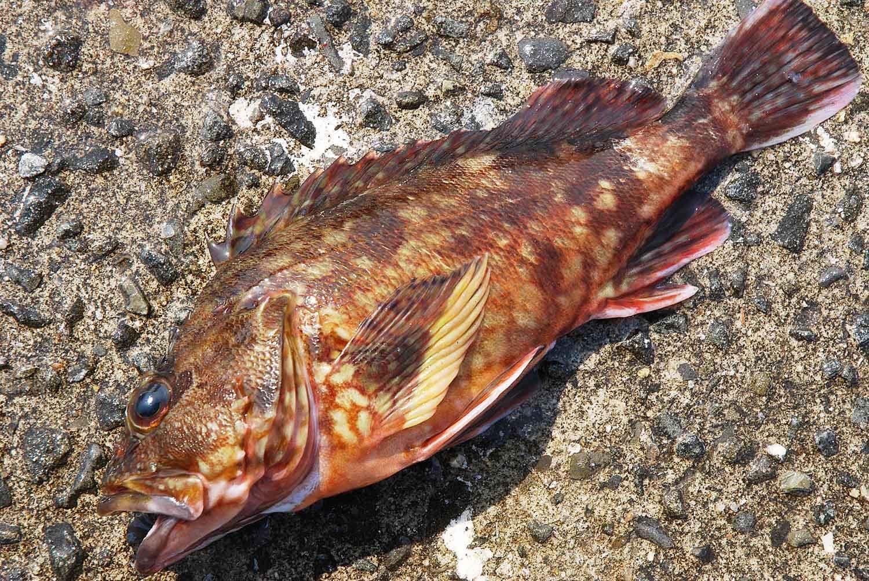 垂水一文字根魚9