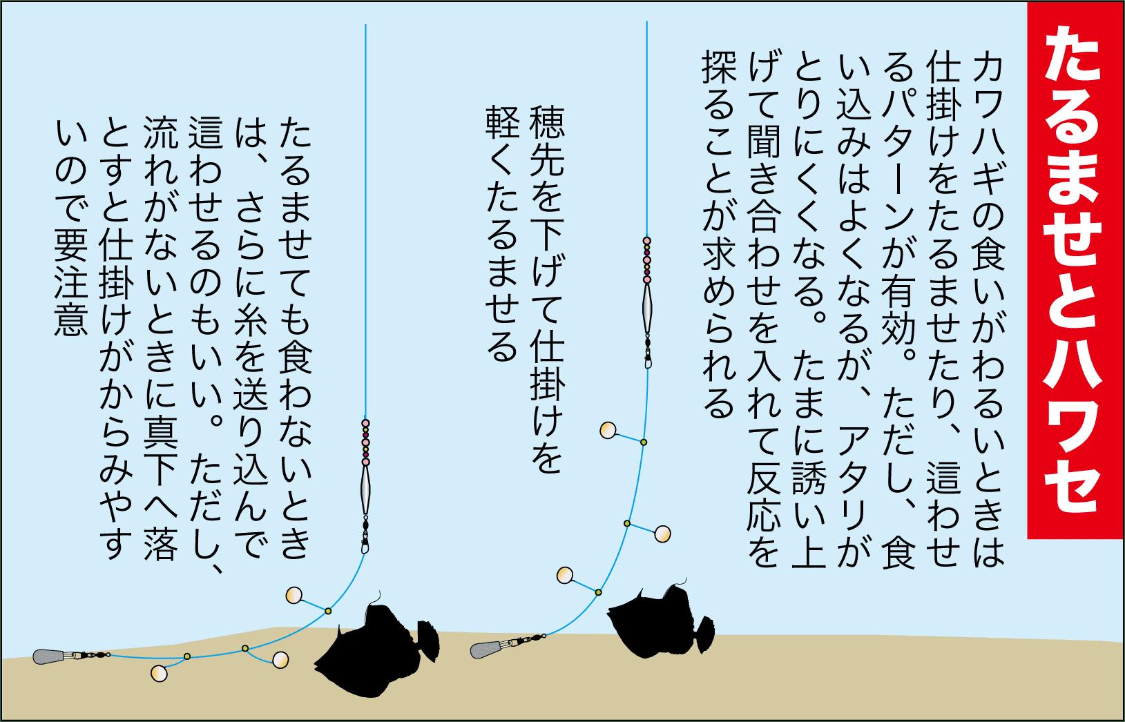カセカワハギ12