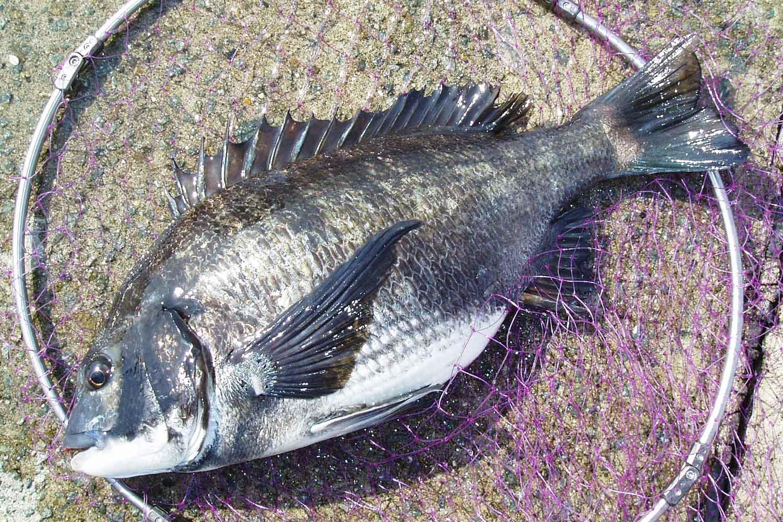 紀州釣り50cm3