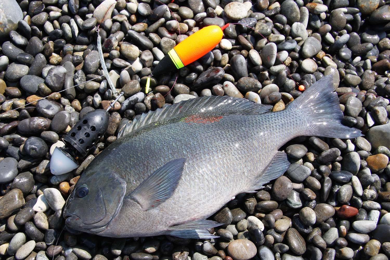 七里御浜カゴ釣りプラン17