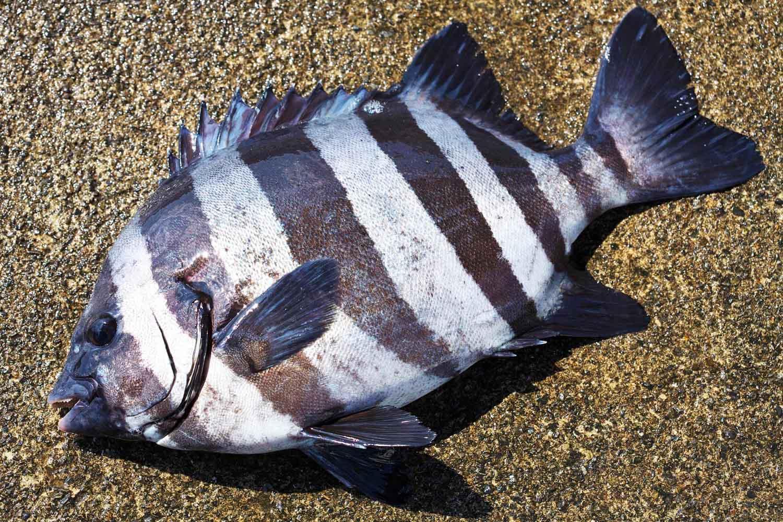 イシダイ(サンバソウ)の釣り方5