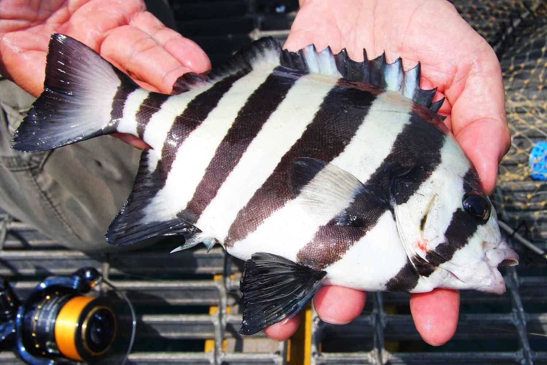 イシダイ(サンバソウ)の釣り方8