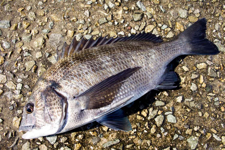 紀州釣りQAフカセより釣れない5