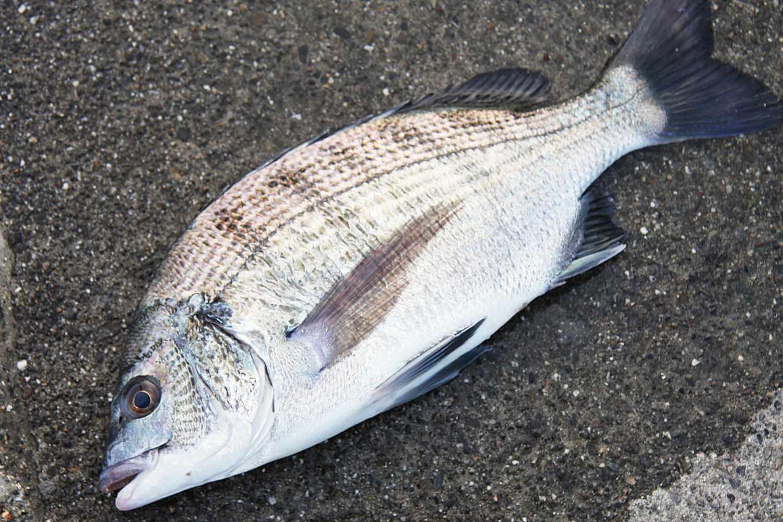 フカセ釣りQAチヌ大小6
