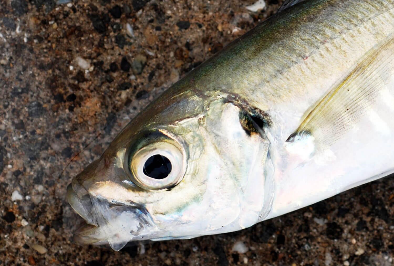 魚の記憶力・アジ3